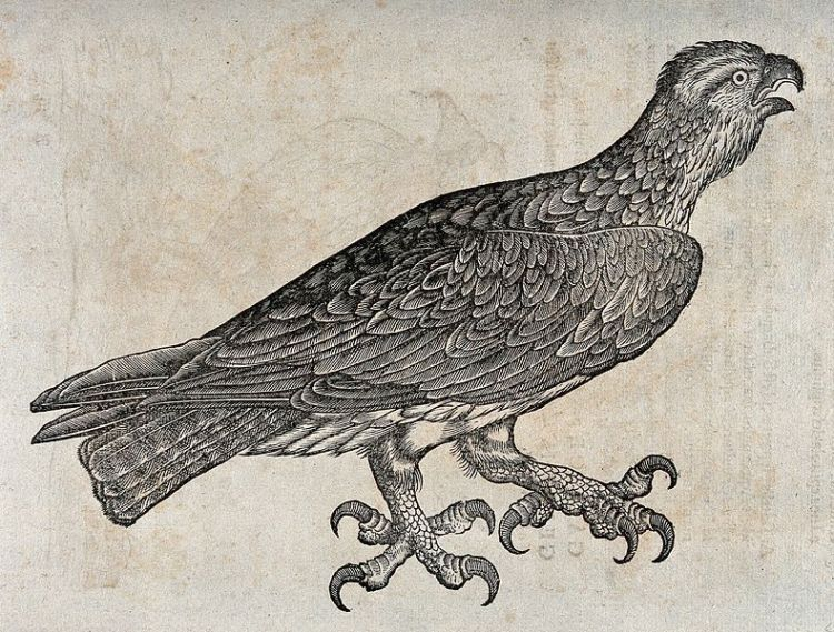 An_eagle._Woodcut_after_C._Gessner._Wellcome_V0021186